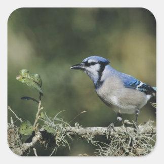 Blue Jay, Cyanocitta cristata,adult, San Square Sticker