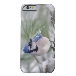 Blue Jay, Cyanocitta cristata Barely There iPhone 6 Case
