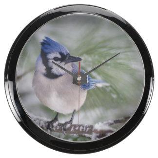 Blue Jay, Cyanocitta cristata Fish Tank Clock