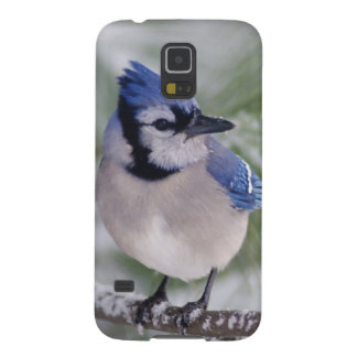 Blue Jay, Cyanocitta cristata Galaxy S5 Cover