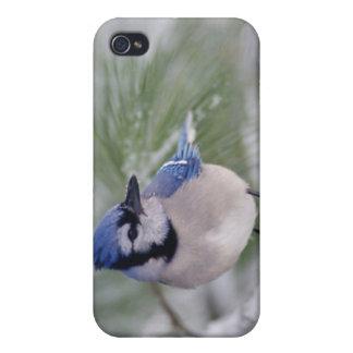 Blue Jay, Cyanocitta cristata iPhone 4/4S Cases