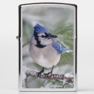 Blue Jay, Cyanocitta cristata Zippo Lighter