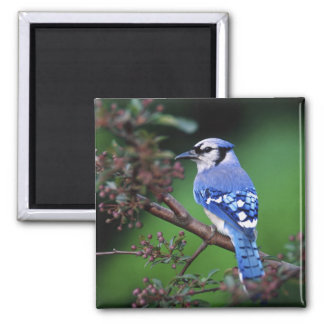 Blue Jay, Cyaoncitta cristata 2 2 Inch Square Magnet