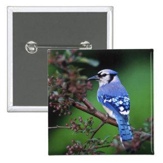 Blue Jay, Cyaoncitta cristata 2 2 Inch Square Button