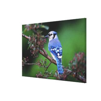 Blue Jay, Cyaoncitta cristata 2 Canvas Print