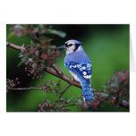 Blue Jay, Cyaoncitta cristata 2 Card