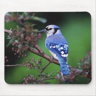 Blue Jay, Cyaoncitta cristata 2 Mouse Pad