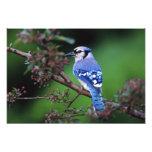 Blue Jay, Cyaoncitta cristata 2 Photo
