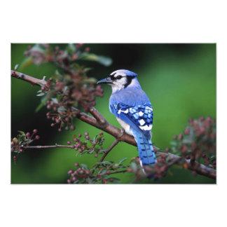 Blue Jay, Cyaoncitta cristata 2 Photo Print