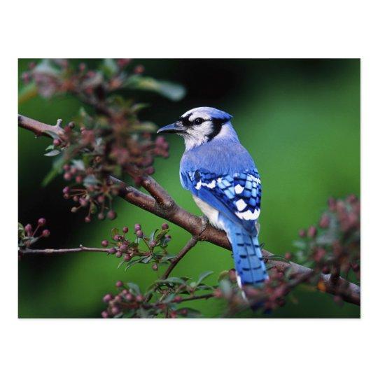 Blue Jay, Cyaoncitta cristata 2 Postcard