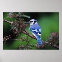 Blue Jay, Cyaoncitta cristata 2 Posters