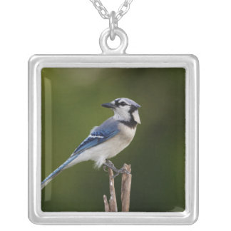 Blue Jay, Cyaoncitta cristata Silver Plated Necklace