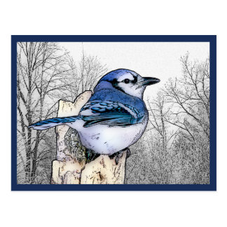 Blue Jay Drawing Postcard