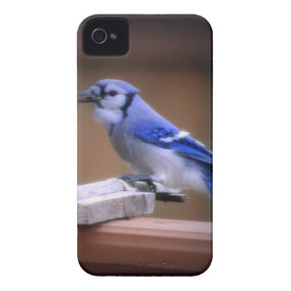Blue Jay Eating Corn Case-Mate iPhone 4 Case