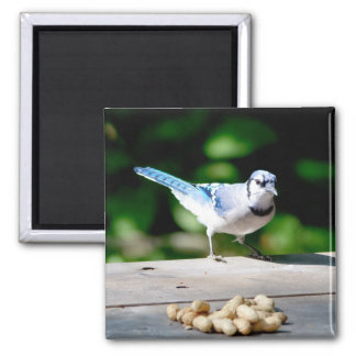 Blue Jay getting a peanut 2 Inch Square Magnet