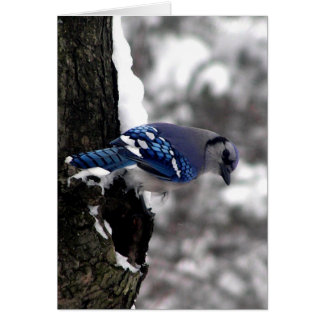 Blue Jay Greeting Cards