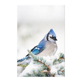 Blue Jay in Blue Atlas Cedar Canvas Print