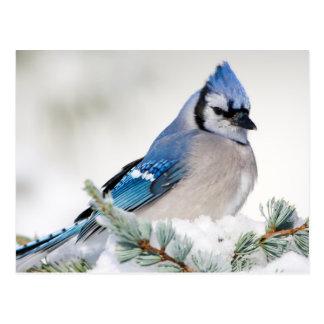 Blue Jay in Blue Atlas Cedar Postcard