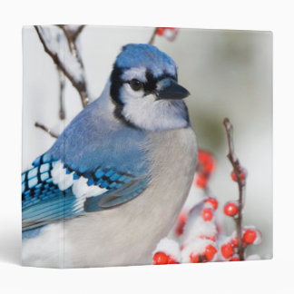 Blue Jay in Common Winterberry 3 Ring Binder