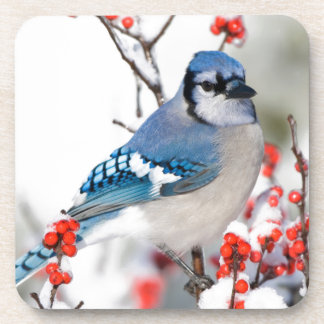 Blue Jay in Common Winterberry Coaster