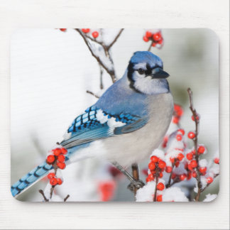 Blue Jay in Common Winterberry Mouse Pad