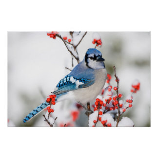 Blue Jay in Common Winterberry Poster