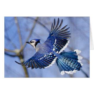 Blue Jay in Flight Greeting Card