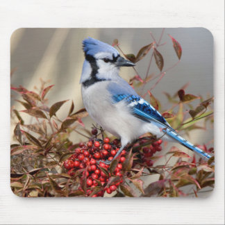 Blue Jay in Nandina Heavenly Bamboo Mouse Pad
