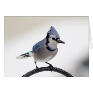 Blue Jay in Winter Card