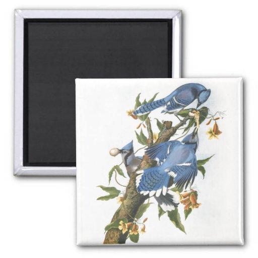 Blue Jay, John James Audubon 2 Inch Square Magnet