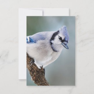 Blue Jay on a Branch Blank Note Card