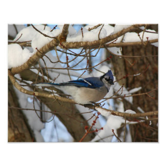 Blue Jay Perched on Snow Covered Branches Photo Print