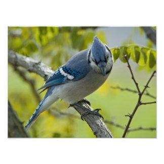 Blue Jay Photo Enlargement