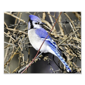 Blue Jay Photography Print Photo Print