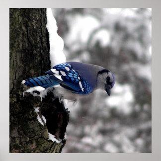 Blue Jay Poster / Print