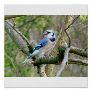 Blue Jay Posters