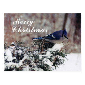 blue jay snow, Merry, Christmas - Customized post Post Cards