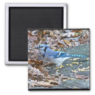 Blue Jay Songbird (Cyanocitta cristata) 2 Inch Square Magnet