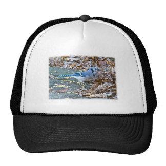 Blue Jay Songbird Series Hat