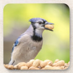 Blue jay with a peanut beverage coaster
