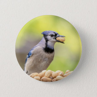 Blue jay with a peanut button