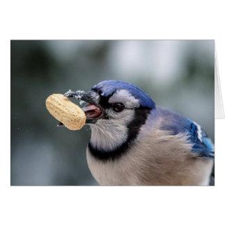 Blue jay with a peanut card