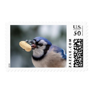 Blue jay with a peanut postage