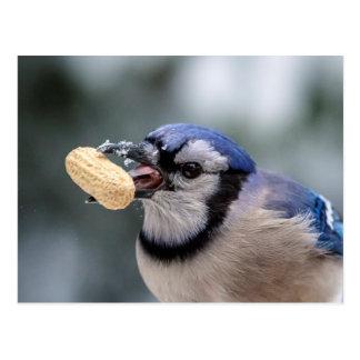 Blue jay with a peanut postcard