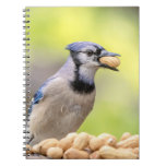 Blue jay with a peanut spiral notebook
