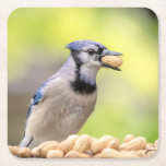 Blue jay with a peanut square paper coaster