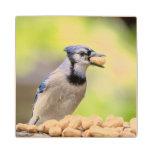 Blue jay with a peanut wood coaster