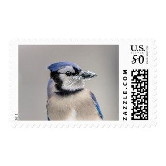 Blue jay with snow on his beak postage