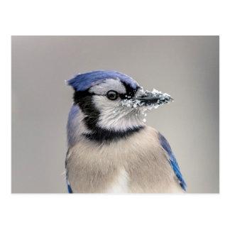 Blue jay with snow on his beak postcard