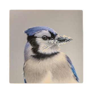 Blue jay with snow on his beak wood coaster